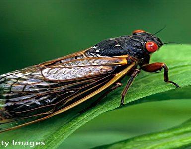 brood x cicada on a leaf